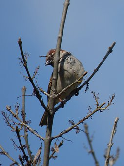 Sparrow, Branches, Bird, Pardal, Lookout