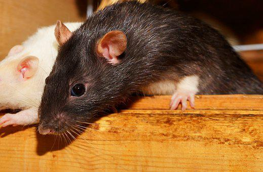 Rat, Curious, Cute, Fur, Rodents, Close, Attention