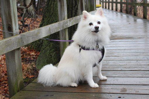 Dog, American Eskimo, Animals, Park, Wooden, Bridge