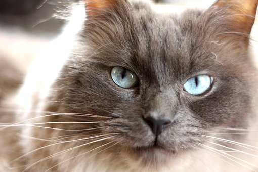 Cat, Pedigree, Blue Eyes, Animal, Furry, Feline, Head