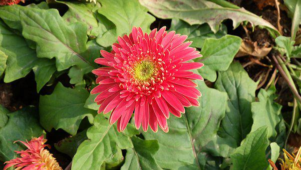 Spring, Flower, Red, Chrysanthemum