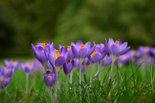 Crocus, Spring Flowers, Frühlingsanfang, Spring