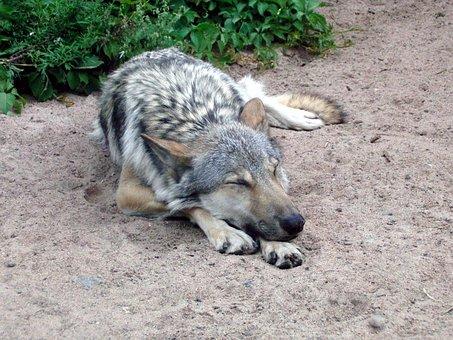 Wolf, Gray Wolf, Canis Lupus, Predator, Sleeps, Lies