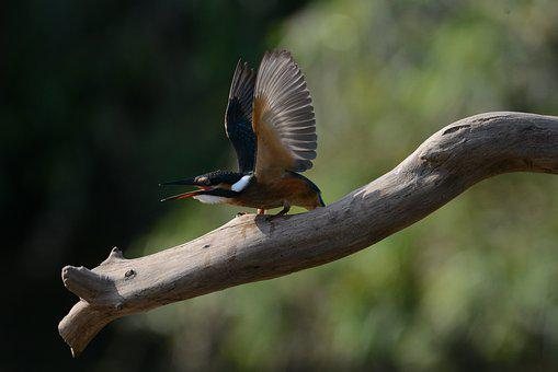 Kingfisher, New, Hanam City