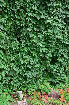 Ivy, Ivy Wall, Green, Wall, Plant, Leaf, Nature, Garden