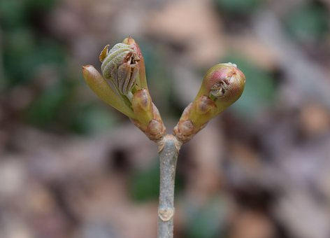 Japanese Chestnut Leaves Opening, Chestnut, Leaves