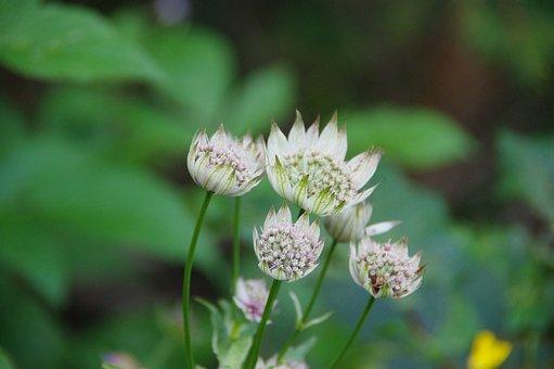 Great Masterwort, Alps, Flower, White, Mountain, Nature
