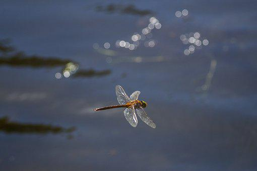 Water, River, Lake, Dragonfly, Insect, Flight, Flying