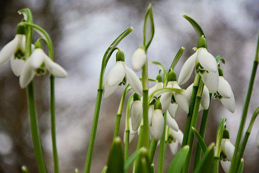Snowdrop, Spring Flowers, Signs Of Spring