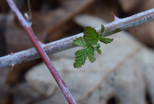 Spring Raspberry Leaves, Raspberry, Foliage, Plant