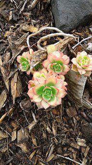 Hens And Chicks, Flower, Succulents