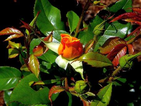 Rose, Flower, Rose Flower, Plant, Tea, The Buds, Garden