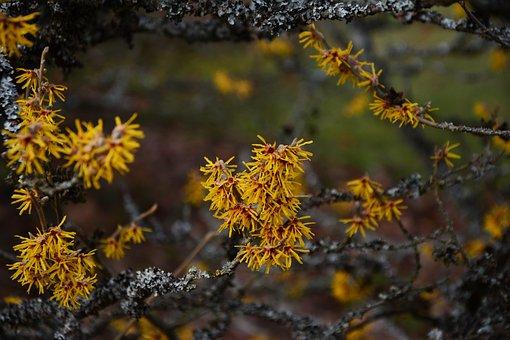 Witch Hazel, Spring, February, Harbinger Of Spring