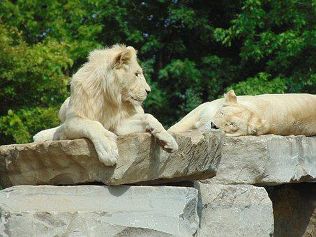 Lion, Wild Animal, Africa, Feline, Mammal, Mane, Rest