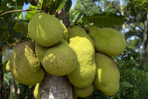 Jackfruit, Tree, African, Green, Agriculture, Plant