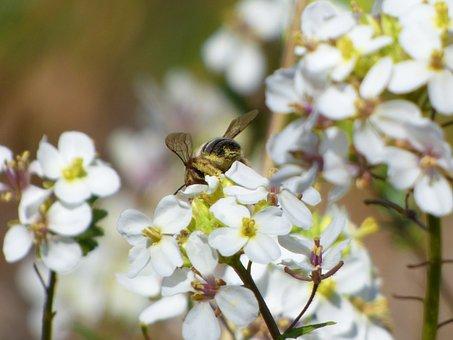 Flower, Bee, Libar, Pollen, Ravenissa, Jaramago