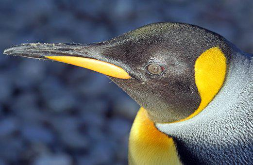 Penguin, King Penguin, Big Penguin, Animal, Yellow