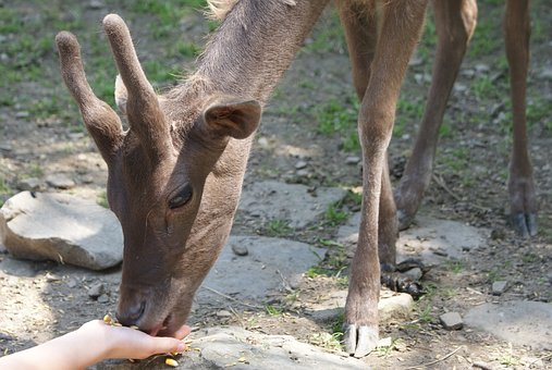 Sarna, Buck, Feeding