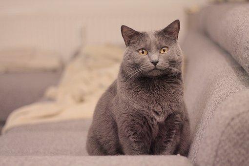 Chartreux, Cat, Animals, Pet