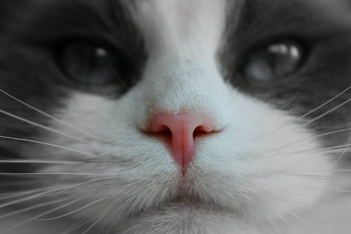 Cat Face, Pink Nose, Pedigree, Pet, White, Animal, Cat