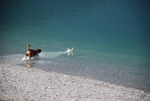 Boxer, Dog, Lake, Duck, Game, Happiness, Holidays, Fun