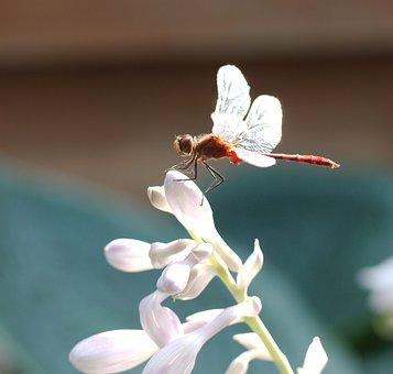 Dragonfly, Sympetrum Vicinum, Meadowhawk, Darter