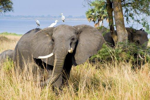 Elephant, Murchison National Park, Uganda, Mammal