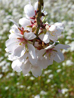Almond Tree, Almond Flower, Flowery Branch, Florir