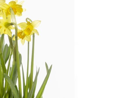 Flowers, Daffodils, Yellow, Spring