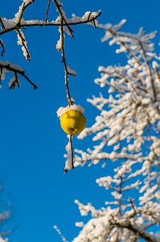 Winter, Apple, Nature, Cold, Fruit, Frost, Wintry, Food
