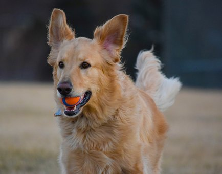 Dog, Golden Retriever, Golden, Retriever, Pet, Canine
