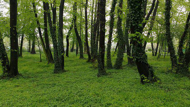 Forest, Ivy, Header Helix, Green, Poland, Nature