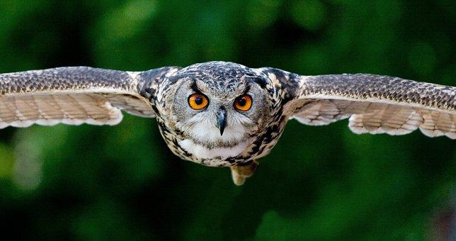 Owl, Approach, Raptor, Bird Of Prey, In Flight, Fly
