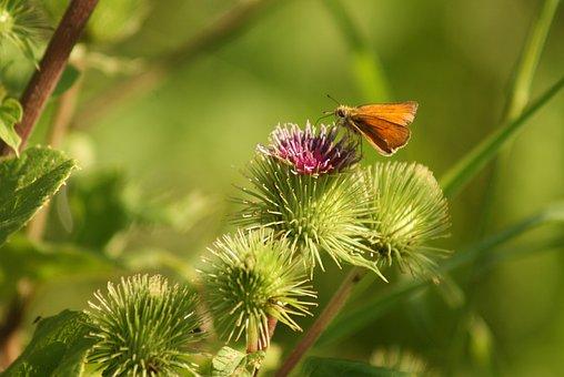 Karłątek, Butterfly, Insect, Bur, Macro, Nature, Orange