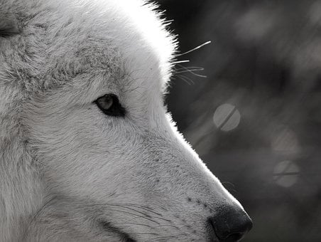 Wolf, Polarwolf, Wild Animal, Eye, Close, Wildlife Park