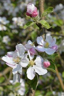Flower Buds, Apple Blossom, Spring, Flowering Time