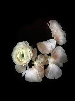 Ranunculus, Flowers, White Flower, Spring, Leaves