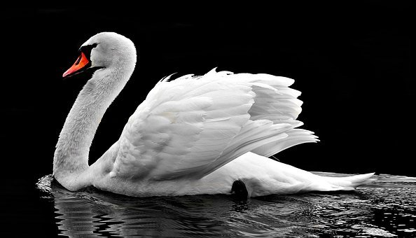Swan, Water, White, Water Bird, Lake, Nature