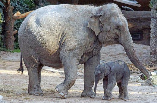 Asian Elephant, Young Animal, Calf, Mammal