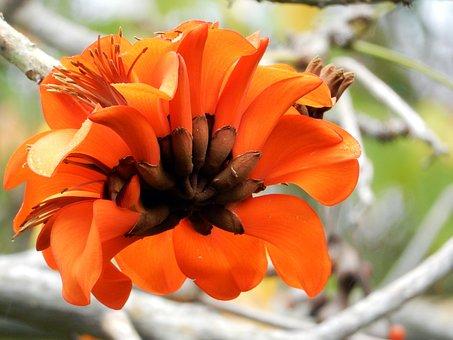 Korallenbaum, Tenerife, Nature, Blossom, Bloom, Tree