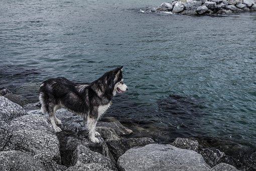 Husky, Sea, Water, Rocks, Dog, Pet, Blue, Harbour