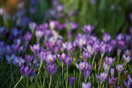 Crocus, Iridaceae, Violet, Spring, Easter, Flowers