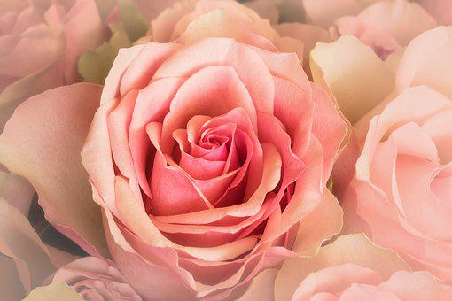 Nature, Emotions, Flowers, Roses, Rosaceae, Close Up