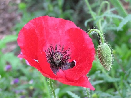Remembrance Day, Poppy, Flower, Red, War, Floral