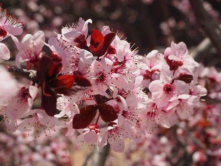 Prunus, Flower, Spring, Cherry Hill, Tree, Flowering