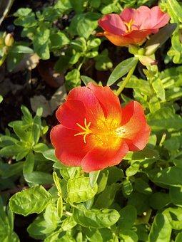 Portulaca Oleracea, Flowering Portulaca Oleracea