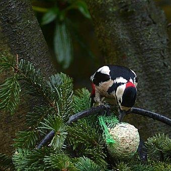 Bird, Great Spotted Woodpecker, Dendrocopos Major