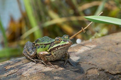 Water Frog, Frog, Amphibian, Close, Nature, Water