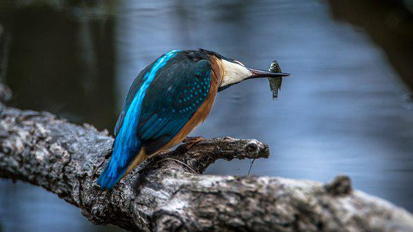 Kingfisher, Bird, Common Kingfisher, Alcedo Atthis