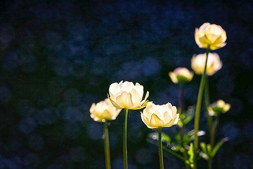White, Glowing, Dark, Blue, Background, Light, Flower